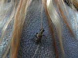 Blondijäärä Lillin hiuksissa