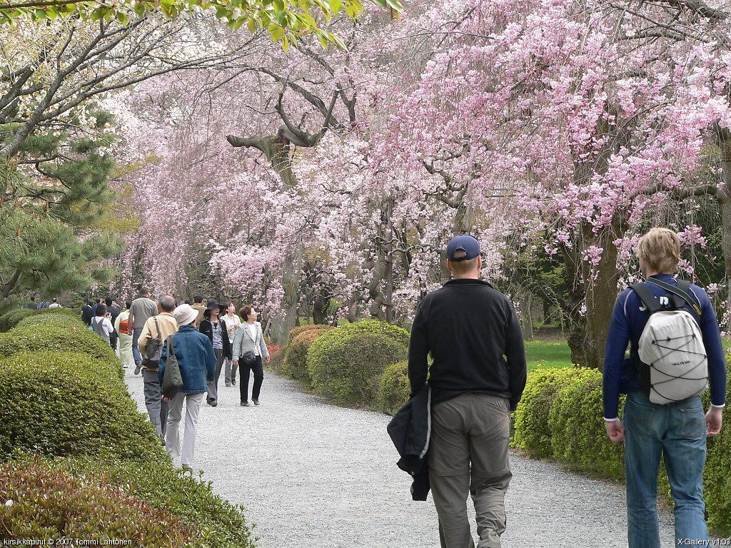 Kirsikkapuu Japani